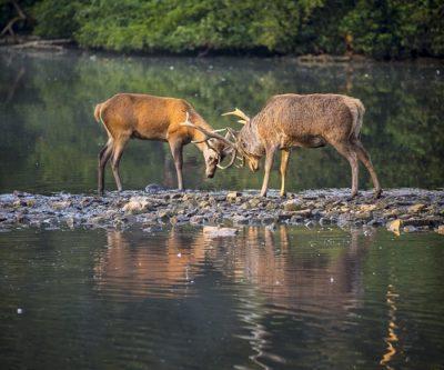 deer-rutting-in-lake-500-x-416