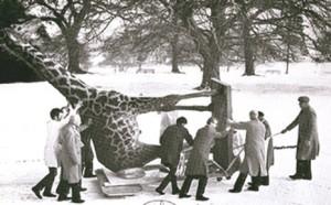 1969-wollaton_giraffe-300x186-1