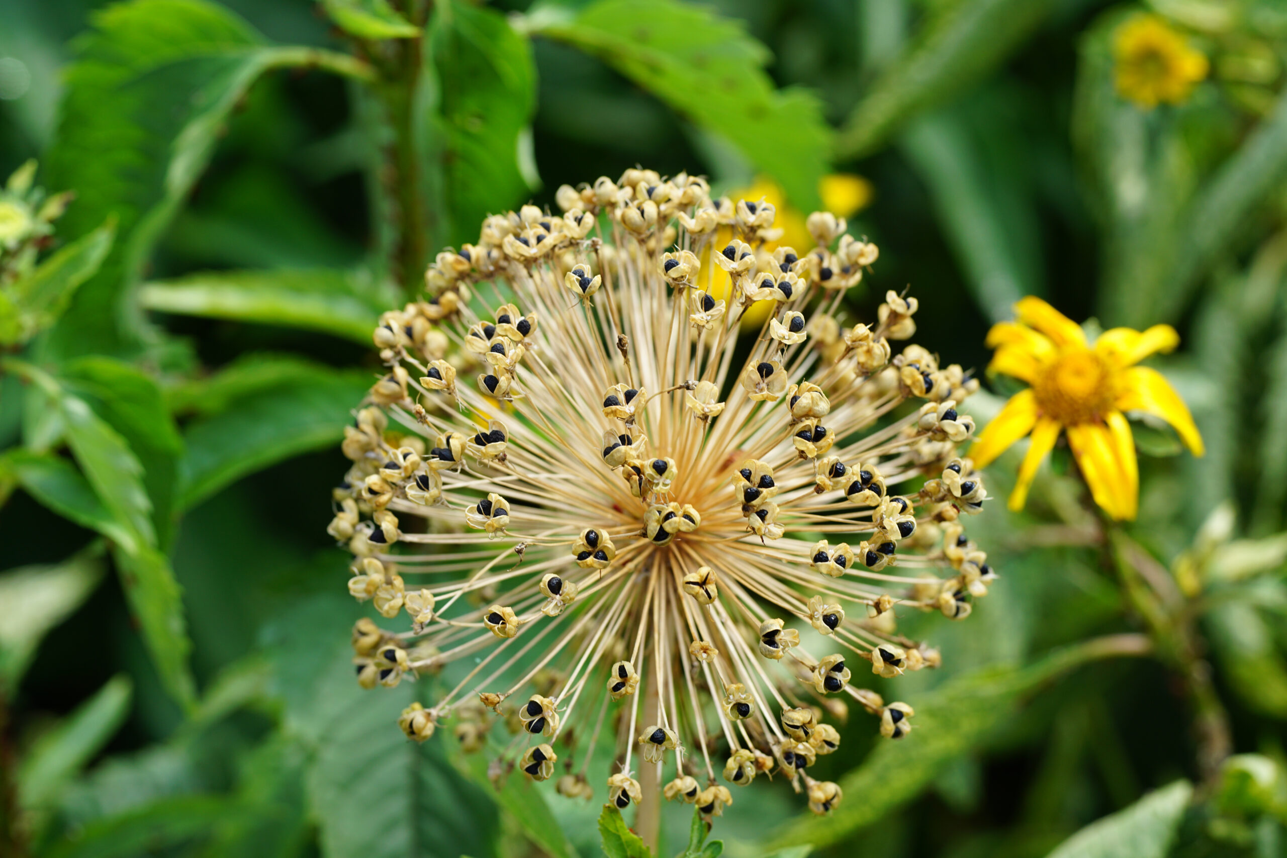 Dried-Allium_1774633058-scaled