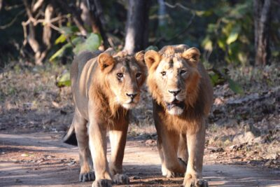 Asiatic-Lions-Ram-and-Shyam-scaled